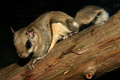 Beautiful Southern flying squirrel
