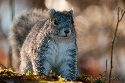 Amazing Delmarva fox squirrel