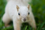 About white squirrel