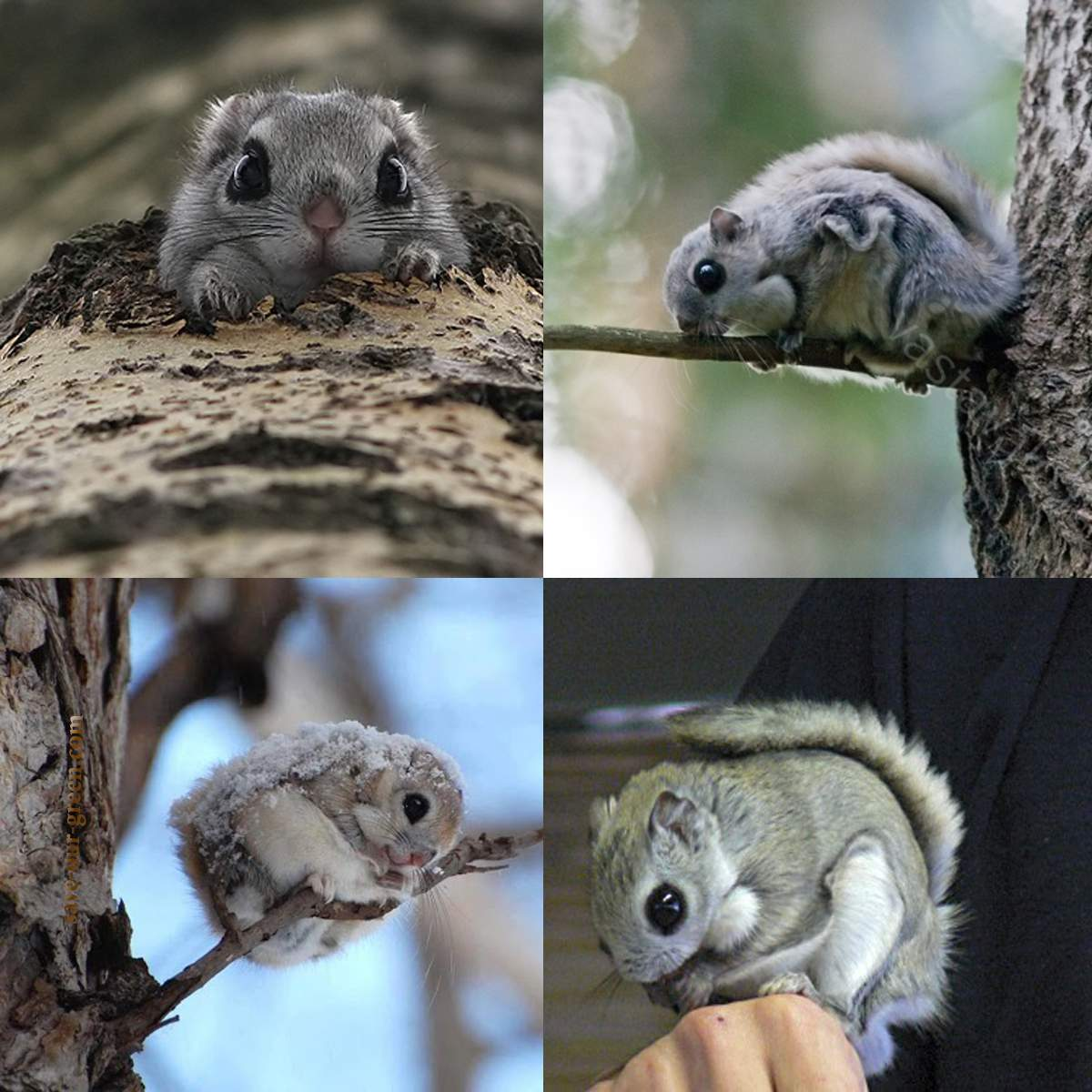Facts about Japanese Dwarf flying squirrel
