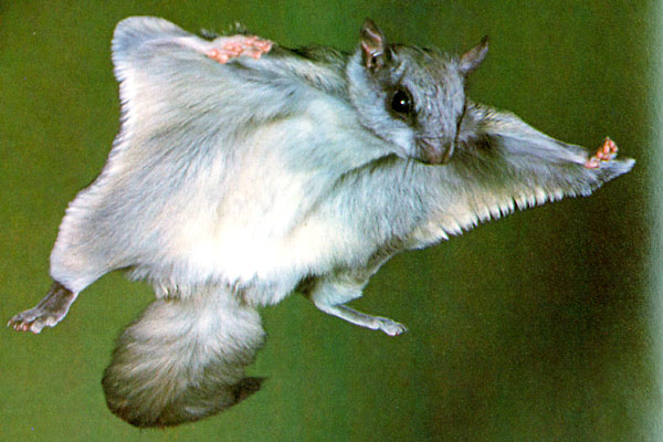 northern flying squirrel usa
