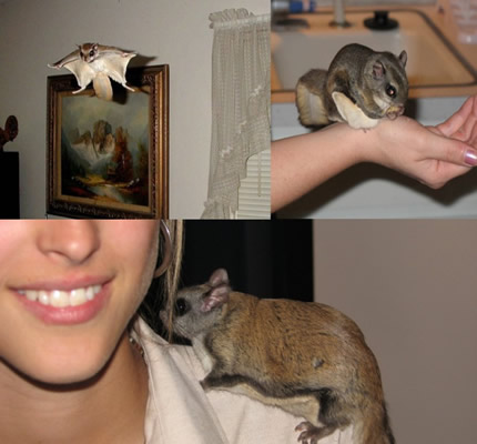 How To Keep Flying Squirrel As Pet