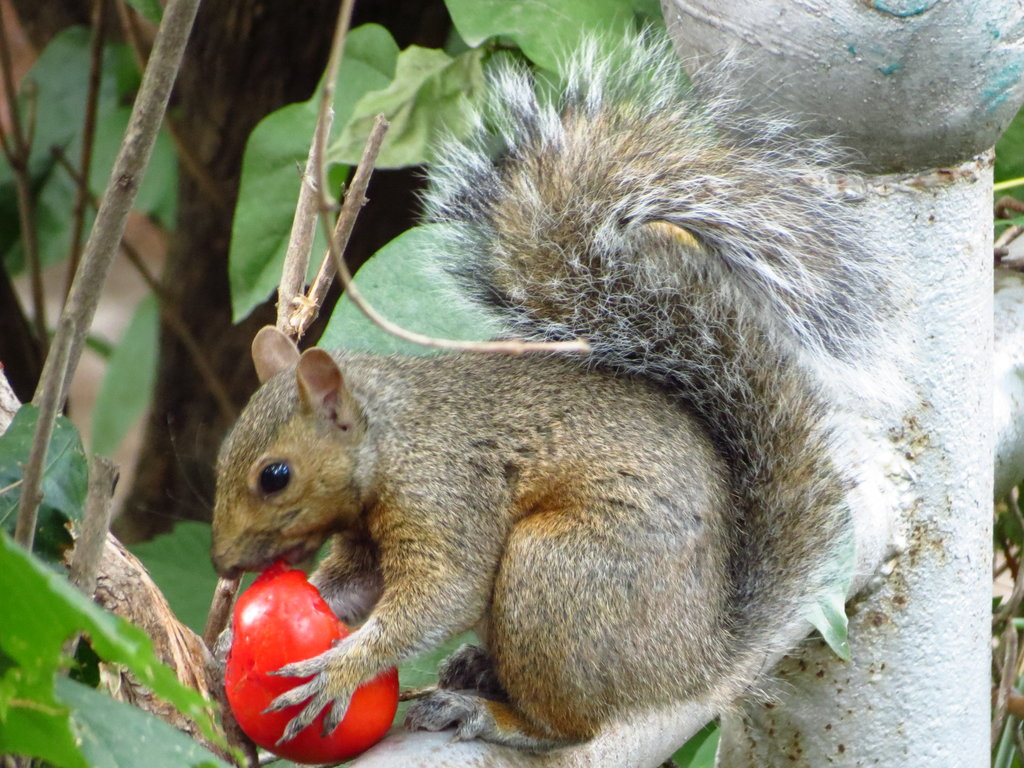 Keeping Squirrels From Your Tomatoes